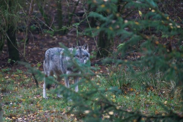 Der einsame Wolf Originalbild