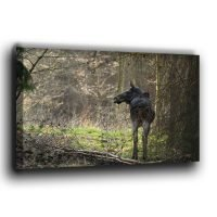 Ein Elch im Wald auf Fotoleinwand