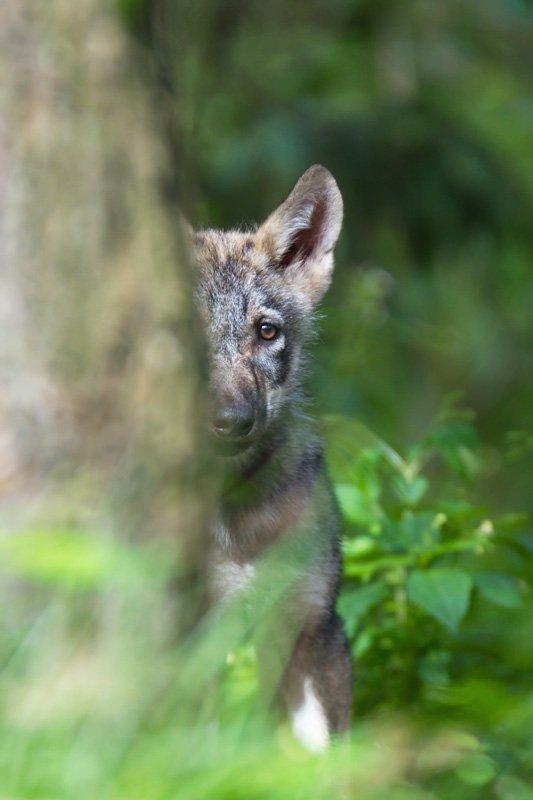 Kleiner Wolf hinter einem Baum Originalbild