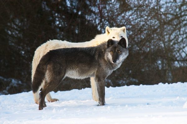 Polar- und Timberwolf Originalbild