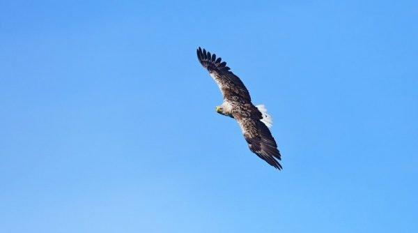 europäischer Seeadler im Flug Originalbild