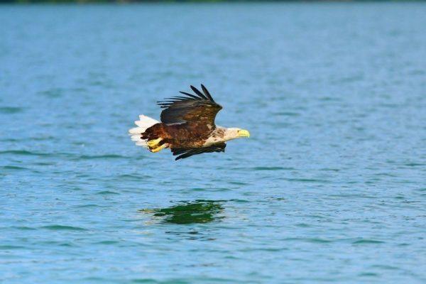 Seeadler bei der Jagd Originalbild