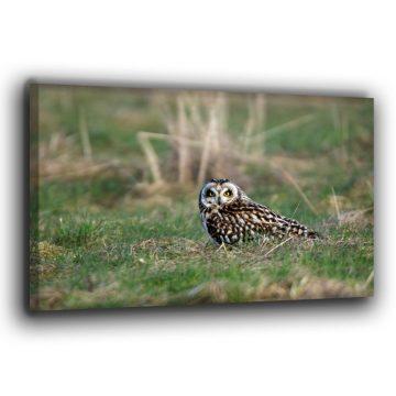 Sumpfohreule im Gras Leinwand