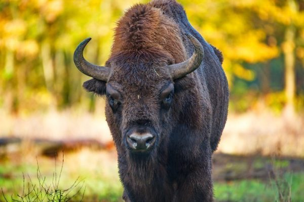 Wisent frontal Originalbild