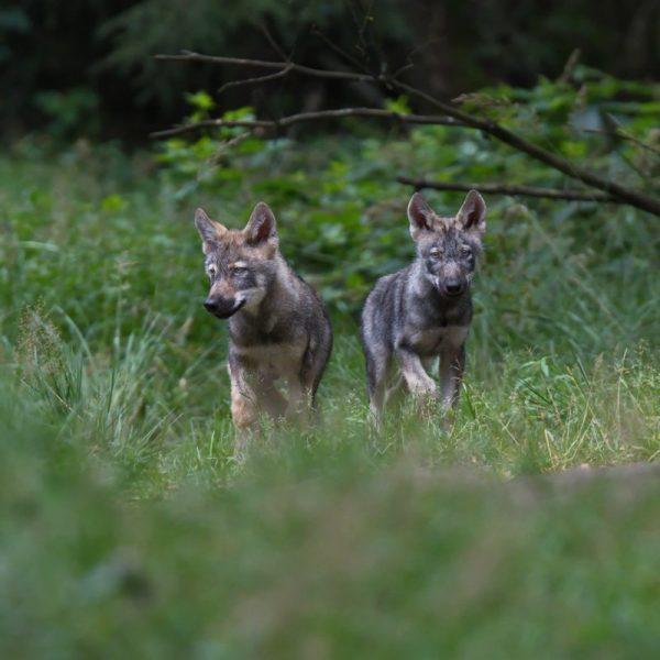 Wolfsbrüder entdecken die Welt Originalbild