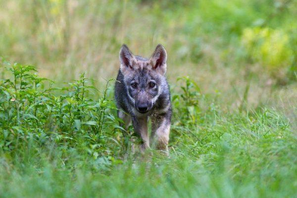 Wolfswelpe schleicht sich an Originalbild