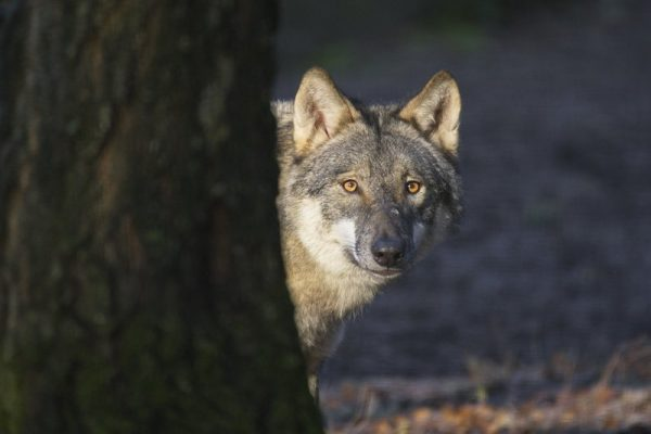 Fotoleinwand Kopfportrait Wolf Original