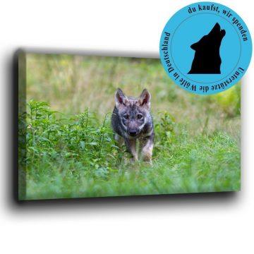 Wolfswelpe schleich sich an Leiwand