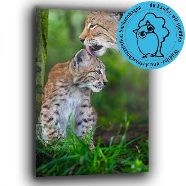 Luchs mit Kitten Spendenaktion